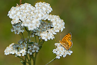 337970002 a wild mylitta crescent butterfly phycoides mylitta perches on a white flower in modoc county california