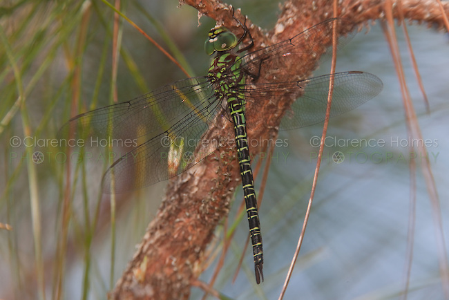 Regal Darner (Coryphaeschna ingens) Dragonfly - Male, Lake Kissimmee State Park, Lake Wales, Polk County, Florida