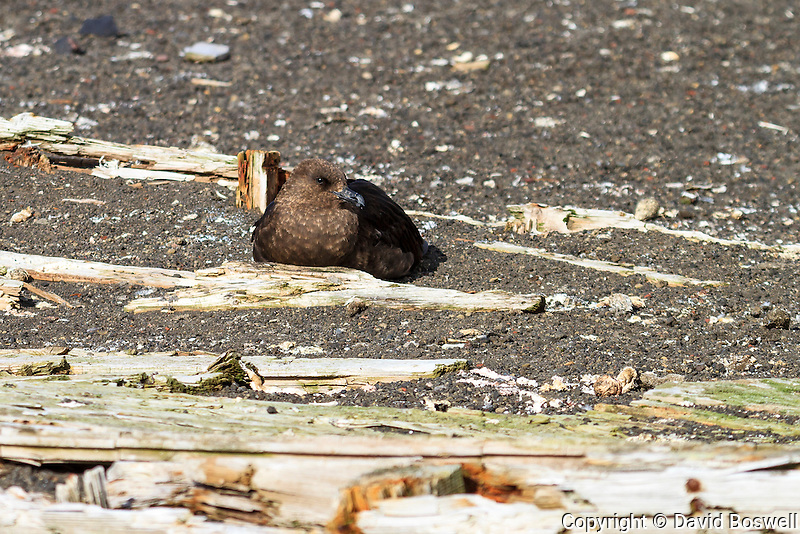 A brown skua rests among the rotting wood from a water boat at Whalers Bay, the site of an abandoned Norwegian whaling base on Deception Island, in the South Shetland Islands near the Antarctic Peninsula.