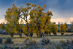 Stormy sunset over cottonwood trees in fall, Seedskadee National Wildlife Refuge, Wyoming