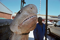 Close-up of 3 meter Tiger Shark, Galeocerdo cuvier, hanging before preparing dissection. Natal Sharks Board, Umhlanga, South Africa, Indian Ocean, Southern Africa