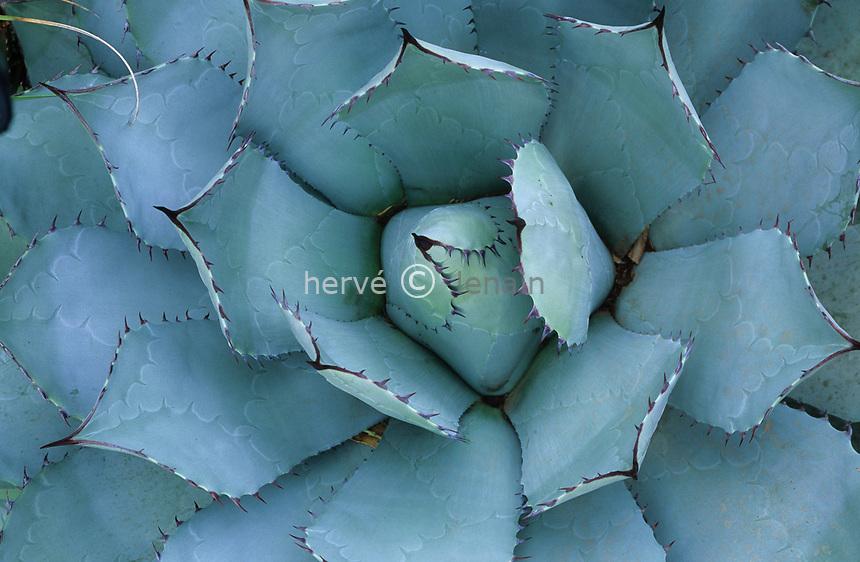 06/ Jardin botanique &quot;Les Cèdres&quot;<br /> Dans le &quot;jardin mexicain&quot; : agave des buveurs (Agave potatorum = Agave scolymus)) (or.= centre Mexique)