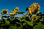 Afternoon sunflowers