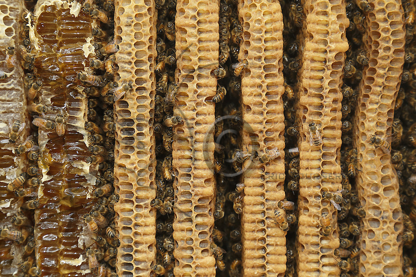The parallel combs of a Warré hive with the bees and the honey.///Les rayons parallèles d'une ruche warré avec des abeilles et du miel.