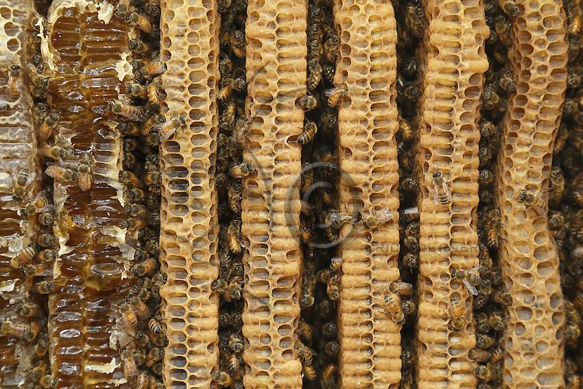 The parallel combs of a Warré hive with the bees and the honey.///Les rayons parallèles d'une ruche warré avec des abeilles et du miel.