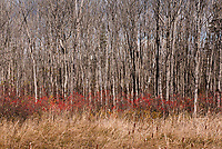 Poplar trees, red berries and cattails<br />