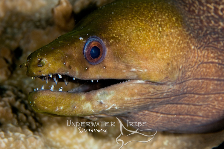 Fimbriated Moray, Gymnothorax fimbriatus, Yap, Federated States of Micronesia, Pacific Ocean