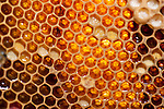 Honecomb cells containing honey within hive, Honey Bee, Apis mellifera, Kent UK