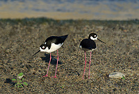 579500031 a pair of wild black-necked stilts himantopus mexicanus feed along the los angeles river los angeles county california
