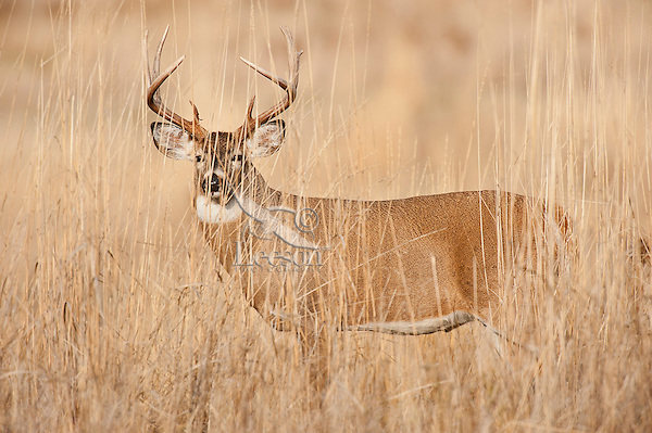 White-tailed Deer Buck (Odocoileus virginianus) in fall.