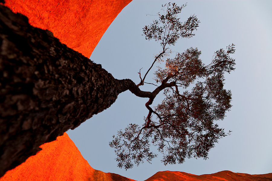 As the sun sets on Uluru it radiates an unreal and other-worldly red glow. This  lasted about 10 minutes.I circumnavigated this Bloodwood tree with a wide angle lens.<br />