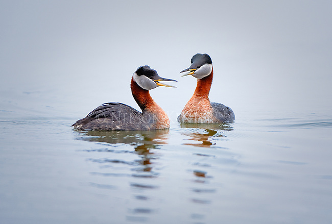 A pair of Red Necked Grebes in mating season on Brown's Lake in western Montana