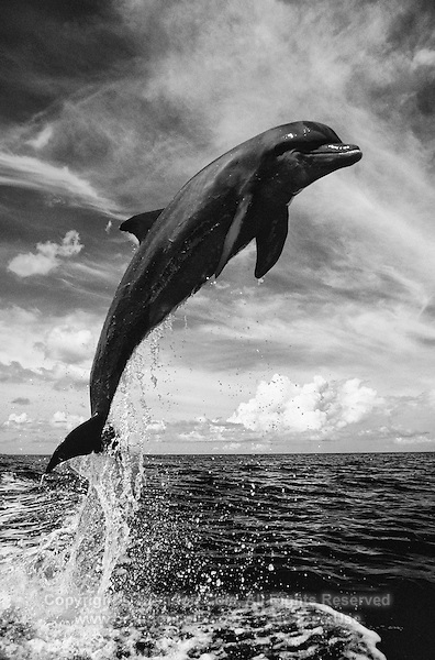 Bottlenose Dolphin, Tursiops truncatus, vertical leaping ...