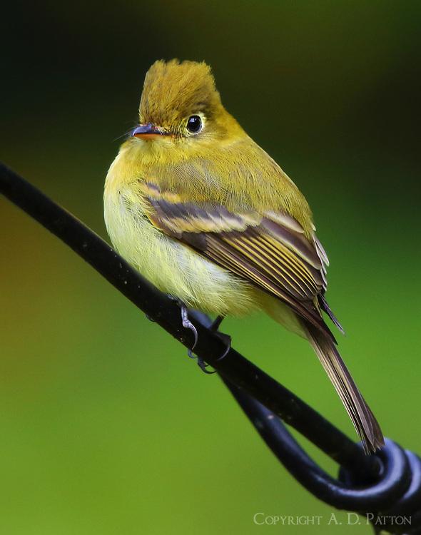 Yellowish flycatcher