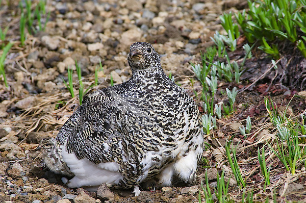 White-tailed Ptarmigan (Lagopus leucurus)--hen is brooding chicks (atleast 7) on cool summer morning in alpine meadow..  Mount Rainier National Park, WA.  Summer.