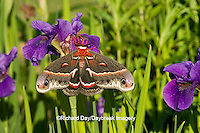 04013-00104 Cecropia Moth (Hyalophora cecropia) in flower garden, Marion Co., IL