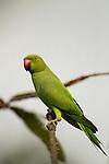 Rose-ringed Parakeet (Psittacula krameri) female, Diyasaru Park, Colombo, Sri Lanka