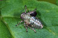 Zikadenwespe, Zikadenwespen, Parasit, Parasitismus, Larve parasitiert an einer Zikadenlarve, Dryiniden-Sack, Dryinidae, dryinid larva