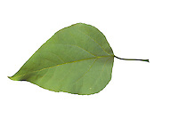 Balsam-Pappel, Balsampappel, Populus balsamifera, Populus tacamahaca, balsam poplar, bam, bamtree, eastern balsam-poplar, hackmatack, tacamahac poplar, tacamahaca, Le Peuplier baumier. Blatt, Blätter, leaf, leaves, Blattunterseite