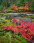 Rogue River National Forest, OR:  Red-osier Dogwood (Cornus stolonifera) in fall color spreading across mossy basalt on the bank of the Rogue River at Natural Bridge