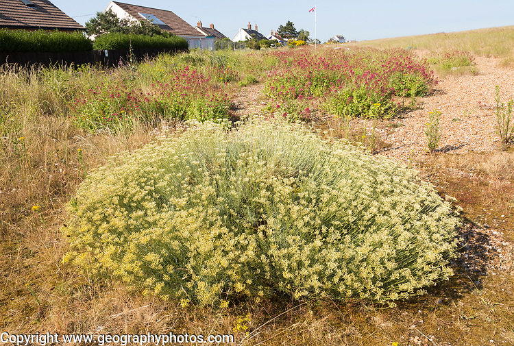 The Curry plant, Helichrysum italicum, and Valerian, Valeriana officinalis, Shingle Street, Hollesley, Suffolk, England, UK