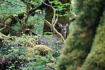 Black-tailed or mule deer, Olympic National Forest, Washington, USA