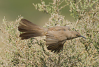 581970023 a wild lecontes thrasher toxostoma lecontei flies from a chapparal plant near maricopa in kern county california