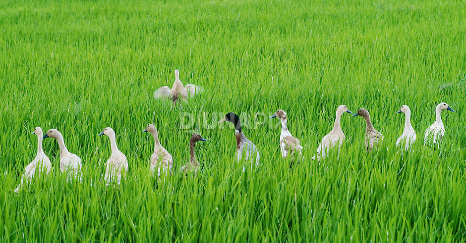 A lone duck breaks from the crowd to spread his wings, as her friends look on in a Balinese rice paddy