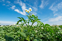 Saphire potatoes in flower; Lincolnshire, July