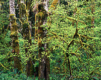 Moss-covered trees in the Queets Valley Rain Forest; Olympic National Park, WA