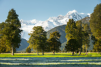 Winter morning on farmland with views of Fox Glacier and Mt. Tasman of Southern Alps, Westland National Park, West Coast, World Heritage Area, South Westland, New Zealand