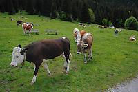 Cattle in field, Ruette area, Tirol, Austria, The Alps