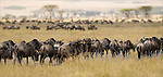 Wildebeest  Western White-bearded in the Serengeti National Park.(Connochaetes taurinus).August 21, 2006.© Fitzroy Barrett.