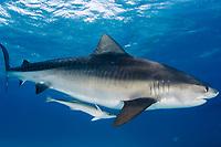 Tiger shark. Galeocerdo cuvier. Underwater. Pregnant female.