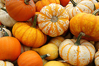 Ripe pumpkins at a farm in Ladner, British Columbia, Canada