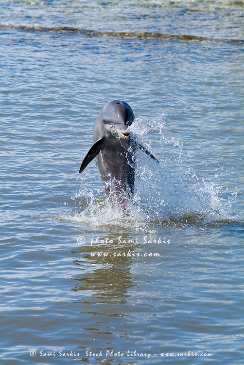 Bottlenose dolphin (tursiops truncatus) jumping out of the water at the Cienfuegos Delphinarium, Cuba.