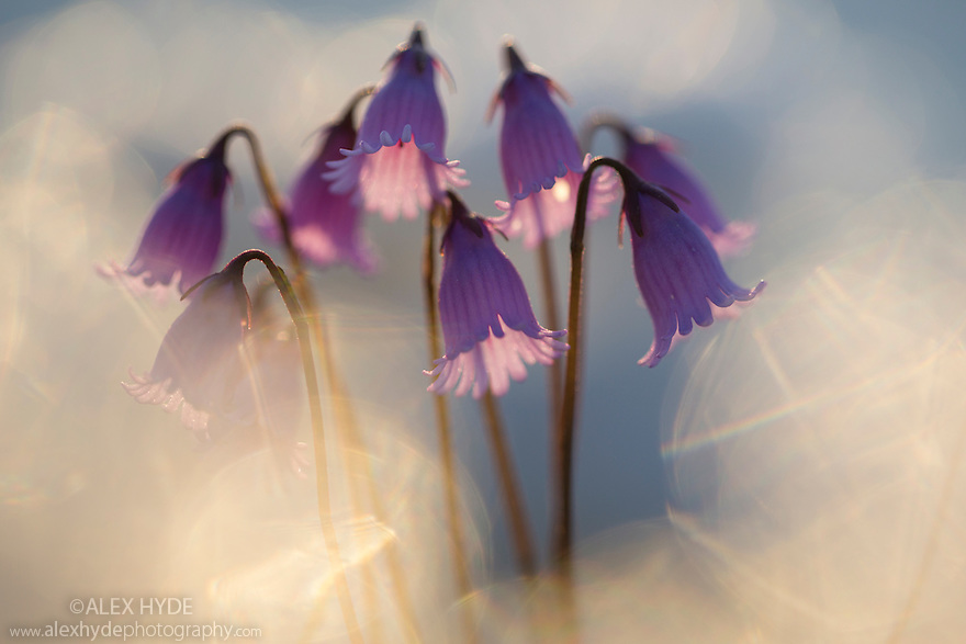 Dwarf Snowbell {Soldanella pusilla} flowers backlit at sunset, with light glinting off the surrounding snow. Nordtirol, Austrian Alps, 2500 metres above sea level, June.