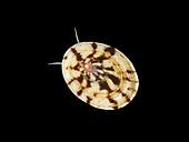 Common Tortoiseshell Limpet - Tectura tessulata