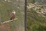Mount Carmel. Griffon Vulture in the Hai-Bar Carmel Nature Reserve