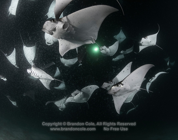 TW2541-D. Smoothtail Mobula Rays (Mobula munkiana), an aggregation of hundreds of the 2 to 3 foot wide rays are feeding on plankton at night. The light colored specks in the water are tiny crustaceans, a type of zooplankton attracted to the light above and a favorite food of mobulas and manta rays. Baja, Mexico, Sea of Cortez, Pacific Ocean.<br /> Photo Copyright &copy; Brandon Cole. All rights reserved worldwide.  www.brandoncole.com