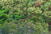 WASJ_D125 - USA, Washington, San Juan Island National Historical Park, English Camp, Pacific madrone trees and wild rose in bloom.