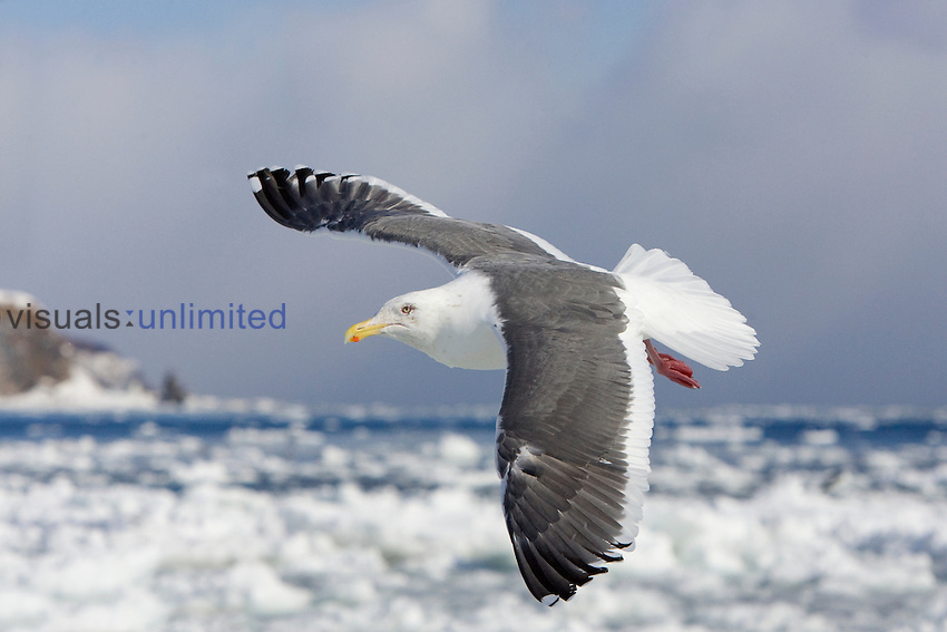 Slaty-backed Gull (Larus schistisagus) flying over pack ice in the Sea of Okhotsk off the coast of the island of Hokkaido, Japan.