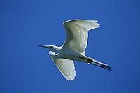 A Great egret in flight. Florida.
