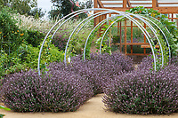 Purple leaf Basil 'Mountain Magic' lining path under arch trellises; Sunset gardens, Cornerstone, Sonoma