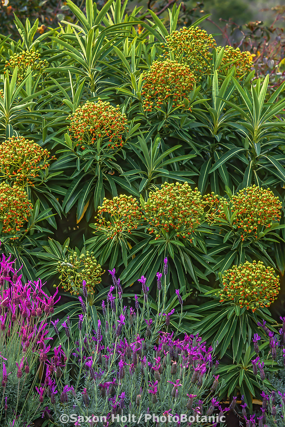 Euphorbia mellifera (honey spurge) flowering in garden with Spanish Lavender.