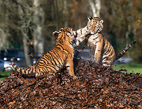 BNPS.co.uk (01202 558833)<br /> Pic: IanTurner/BNPS<br /> <br /> The wonderful thing about tiggers...cubs Rusty and Yuki play in the autumn leaves.<br /> <br /> The endangered Amur tiger cubs - the world's largest big cats – have been seen by visitors for the first time at the Longleat Safari Park.<br /><br />And the precocious pair were soon frollicking in the autumn sunshine whilst playing in the fallen leaves, and pouncing on their long suffering mother Yana.<br /> <br /> The male called Rusty and a female called Yuki, are part of a European wide breeding programme for the endangered sub-species.<br /><br />Native to the far east of Russia, the Amur tiger is the largest of the big cats and can weigh up to 300 kg and measure more than three metres in length. <br /><br />In the 1930s the tigers had nearly died out due to hunting and logging. At one stage it is thought the population fell as low as just 20–30 animals. <br /> <br /> Although they are still under severe threat their status was officially changed from Critically Endangered to Endangered in 2007.