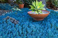 Variegated Aloe in terracotta dish in bed of Senecio serpens, Blue Chalksticks, aka Senecio mandraliscae blue foliage succulent groundcover, Leaning Pine Arboretum, California garden