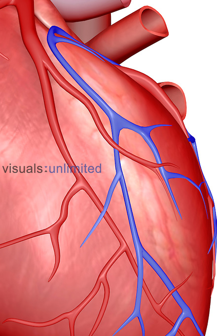 An anterior view of the heart. The coronary blood vessels are also included. Royalty Free