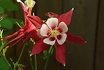Red Columbine in the backyard.