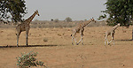 Kouré (Koure)-Niger, March 25, 2012 -- Three of the last giraffes in West Africa - a population of about 400 lives in last self-sustaining families in a protected area / parc near Kouré, in southwest Niger --Photo © HorstWagner.eu